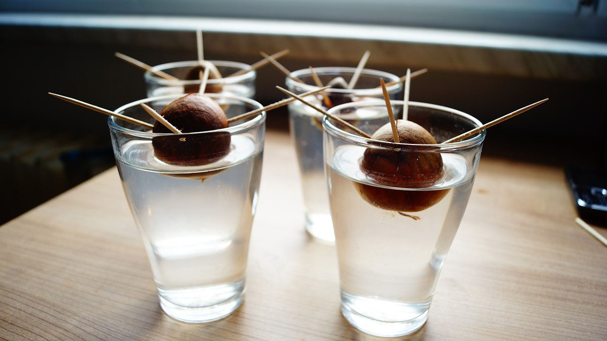 Avocado pits in glasses in water